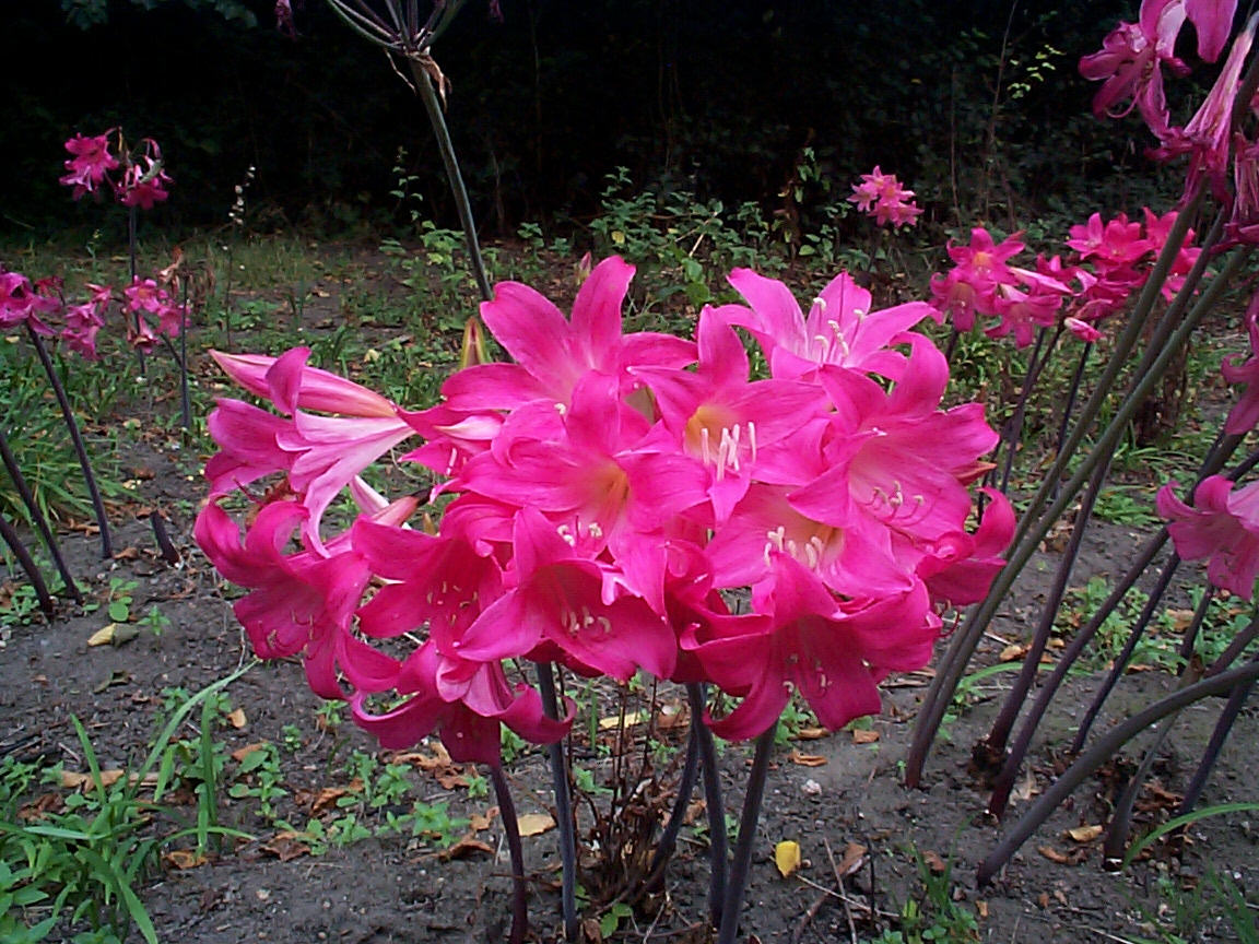 Amaryllis belladonna - texto no world