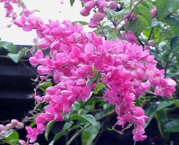 Amor-agarradinho (Antigonon leptopu)