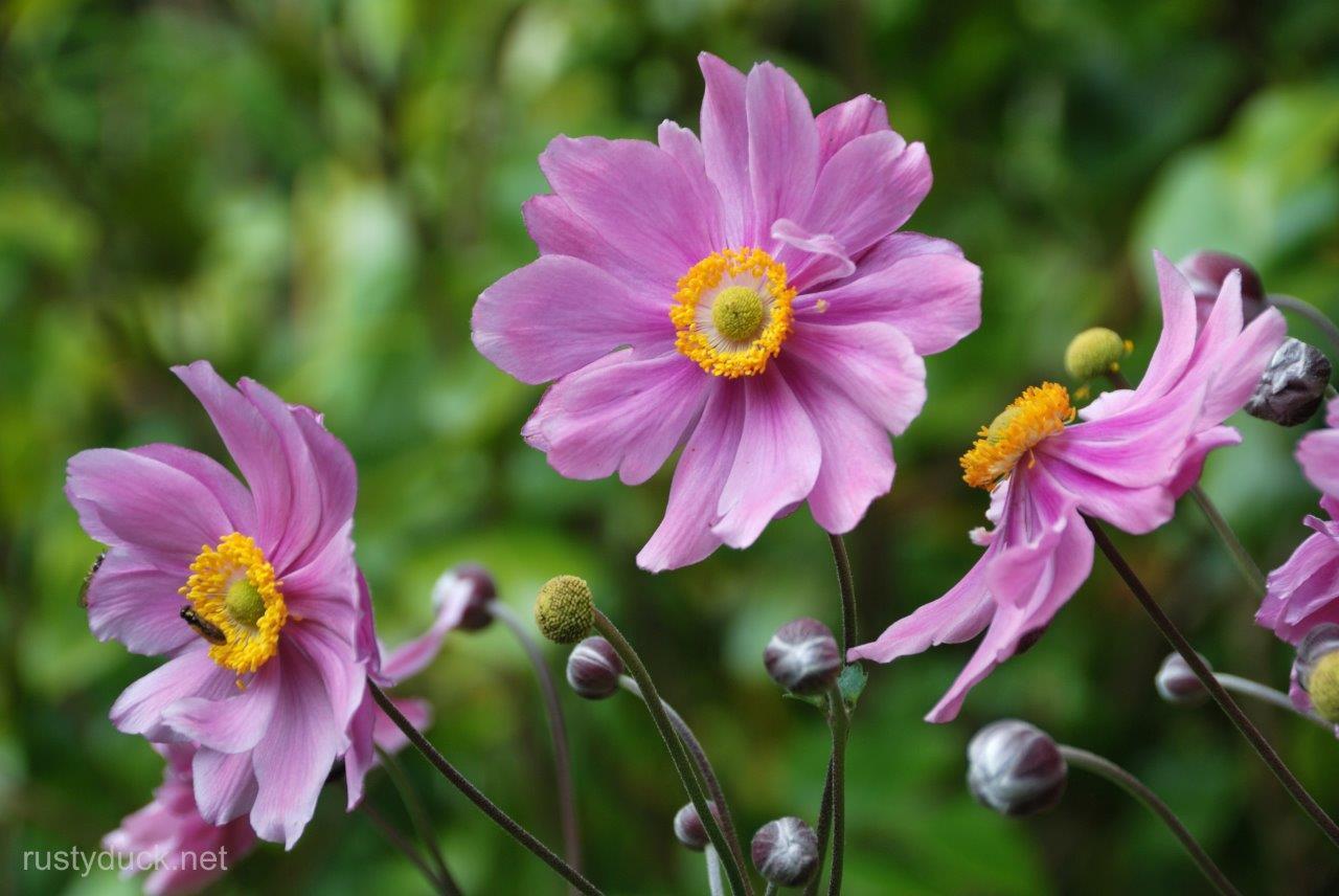 Anemone Hupehensis22