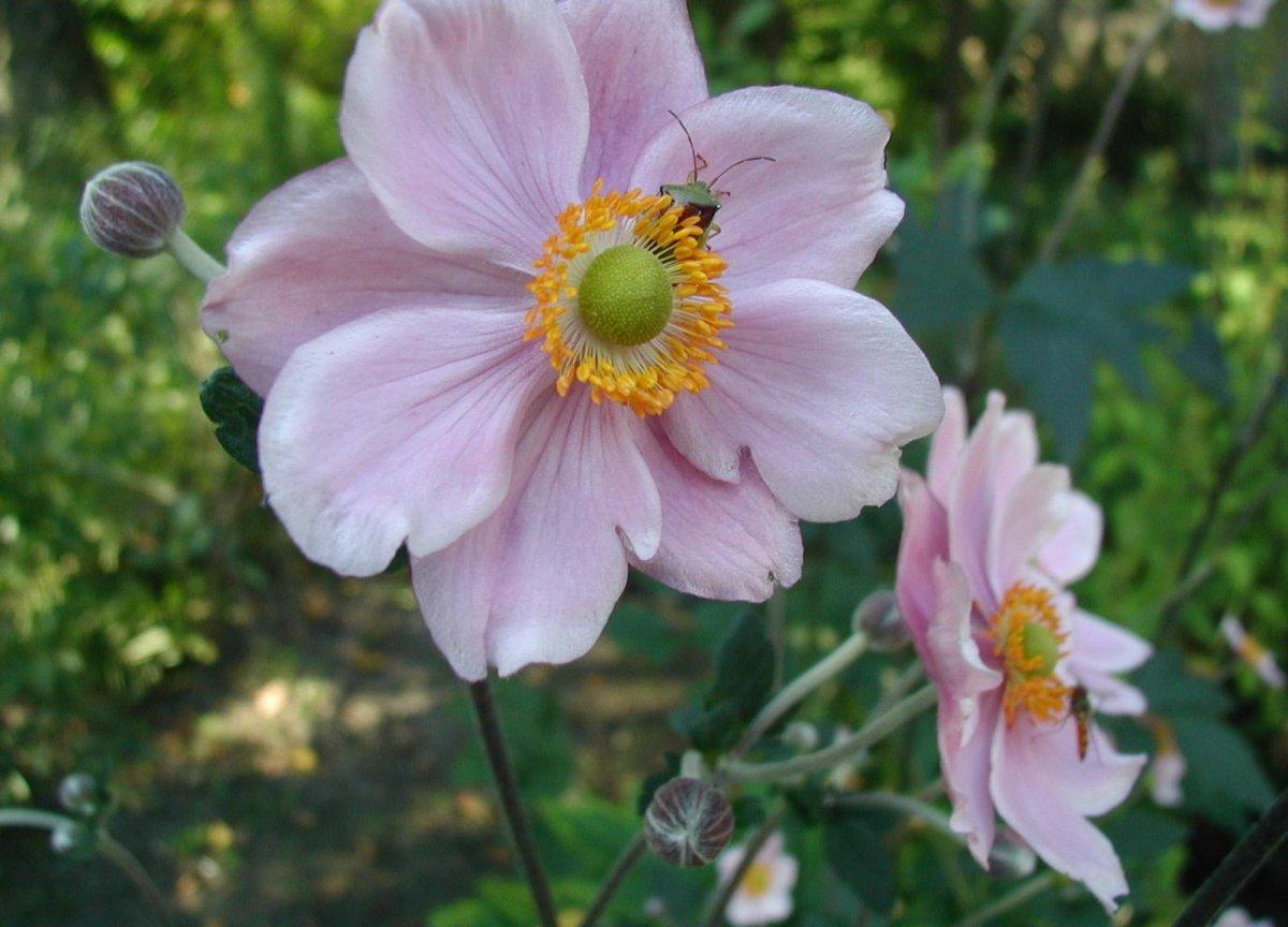 Anemone-hupehensis-flowers
