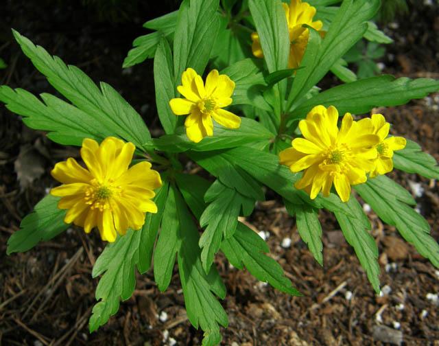 Anemone ranunculoides 2