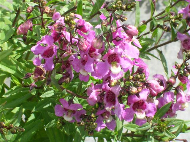 Angelonia-angustifolia-1