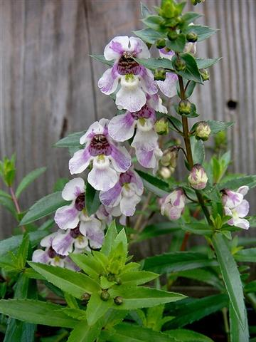 Angelonia-angustifolia-1BY