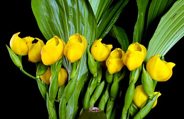 Anguloa (orquídea tulipa)