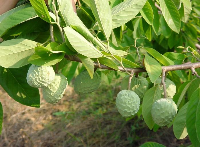 Annona squamosa 2