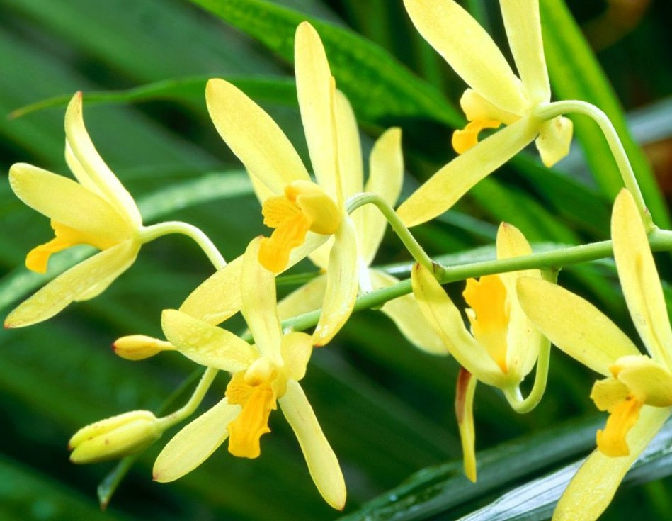 Ansellia-Africana