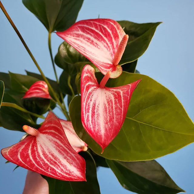 """Anthurium andraeanum """"Livium"""""""