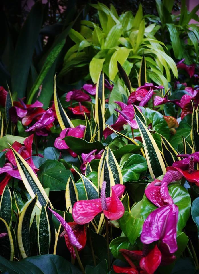 """Anthurium andraeanum """"Utah"""""""