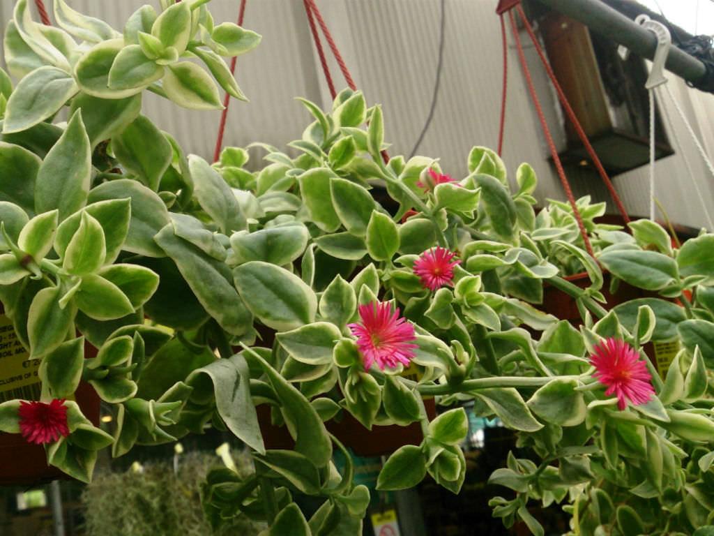 Aptenia-cordifolia-Variegata