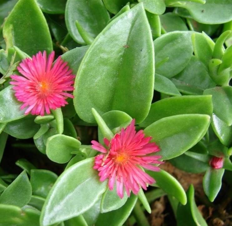 Aptenia_cordifolia 2