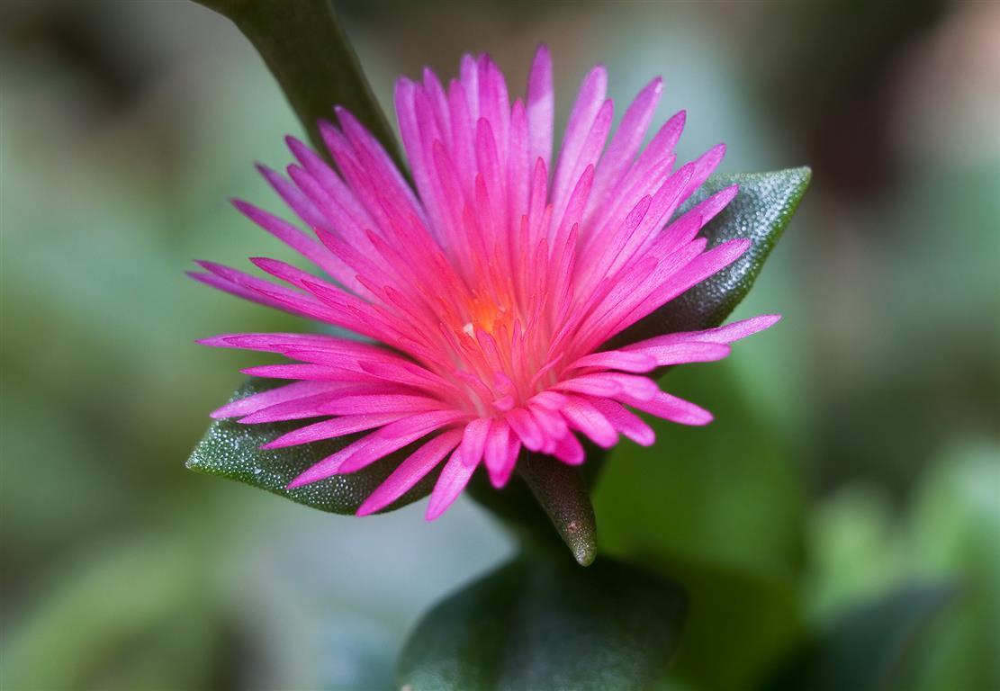 Aptenia_cordifolia_1