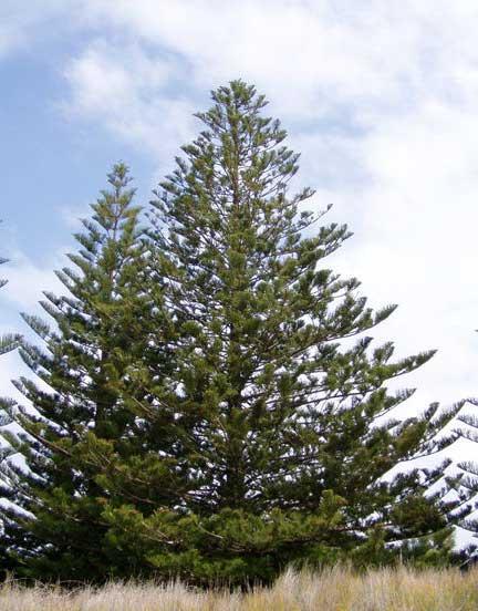 Araucaria_heterophylla1