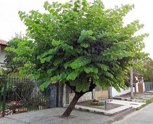 Arborizacao-41