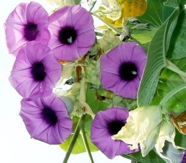 Argyreia-nervosa.flor