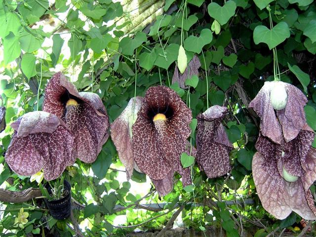 Aristolochia gigantea_YY