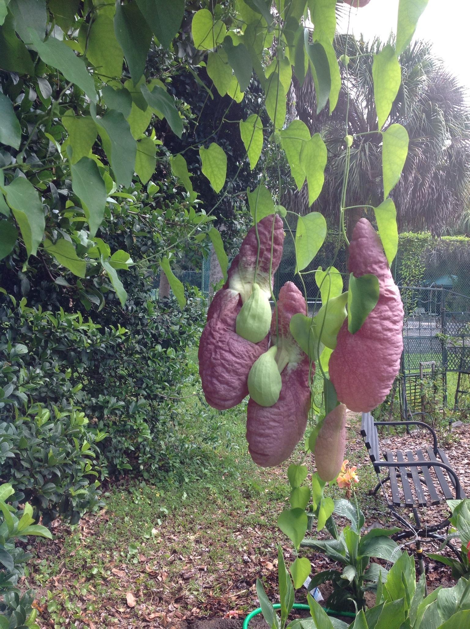 Aritolochia-gigantea-1