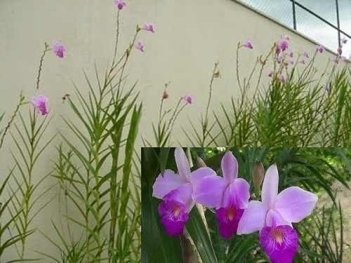 Arundina Bambusifolia