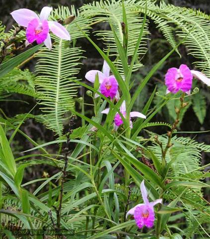 Arundina-graminifolia