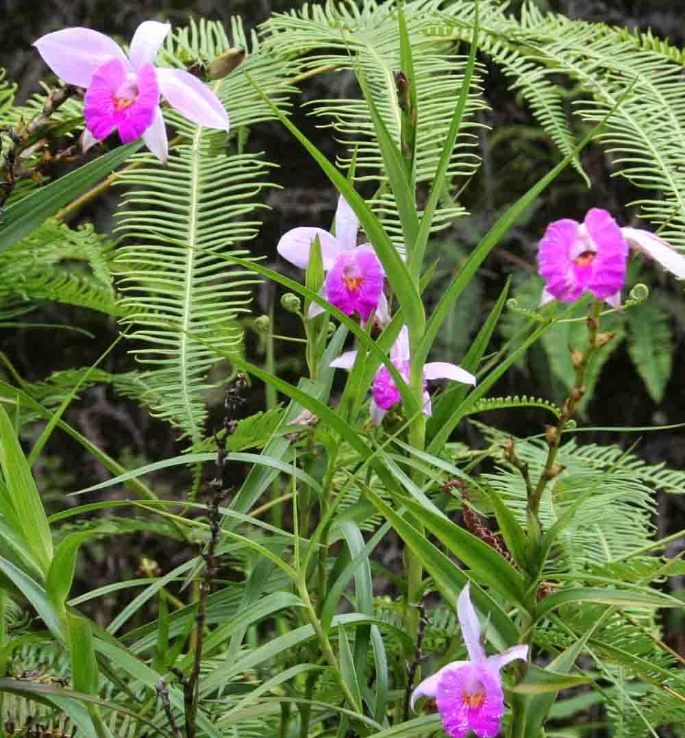 Arundina graminifolia