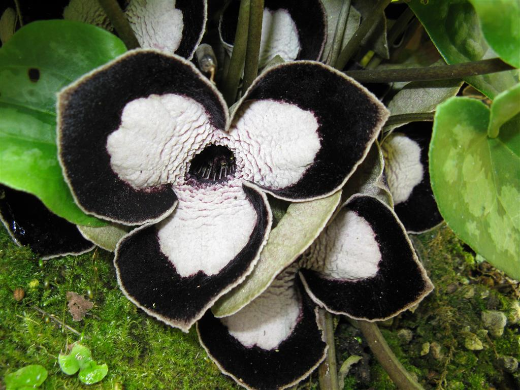 Asarum_maximum