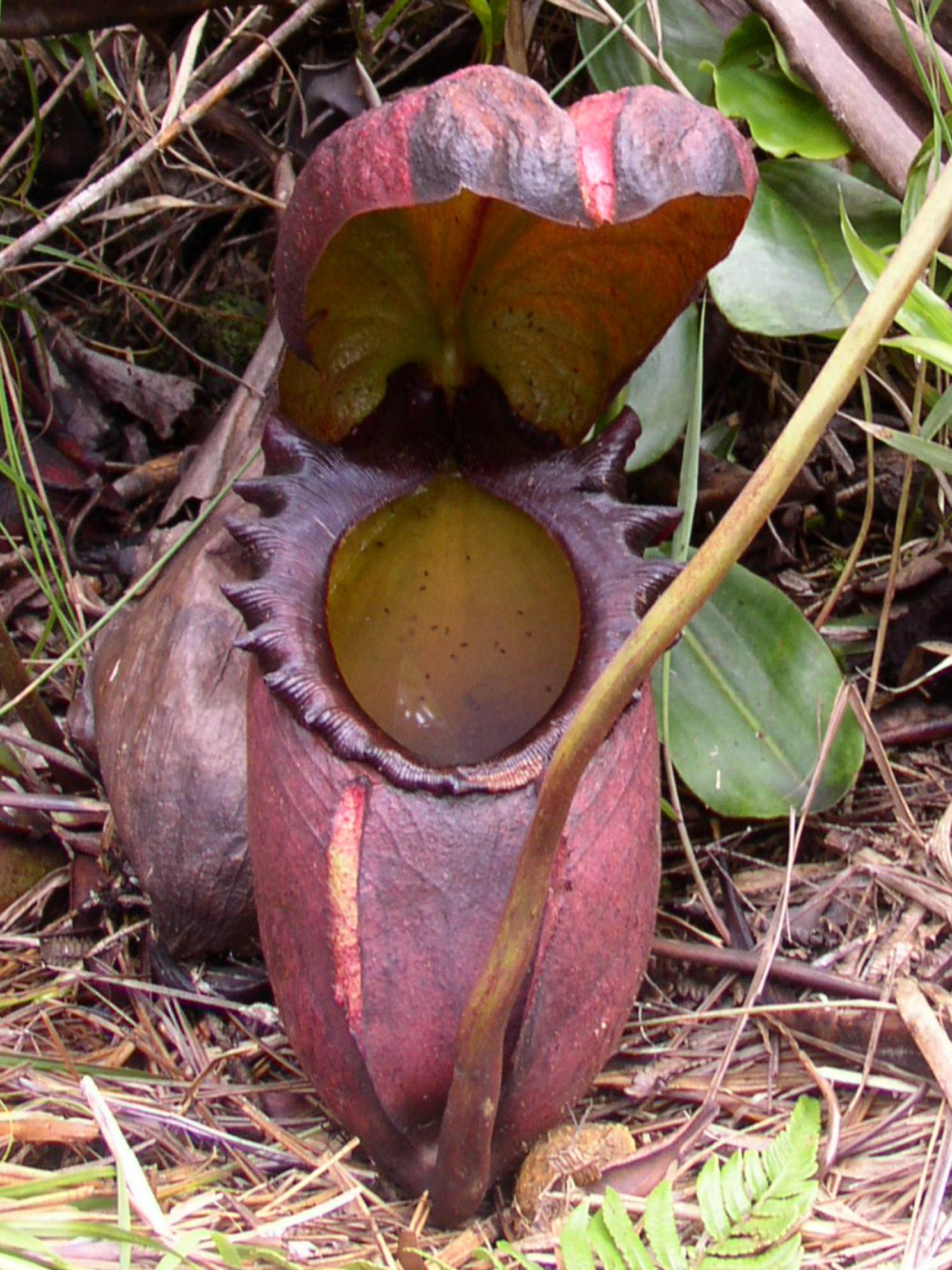 Ascidio - gênero Nepenthes_