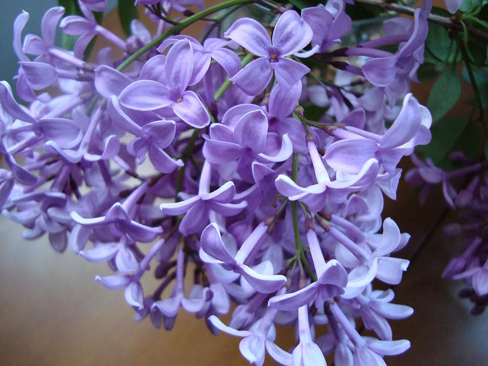 Asessippi lilás