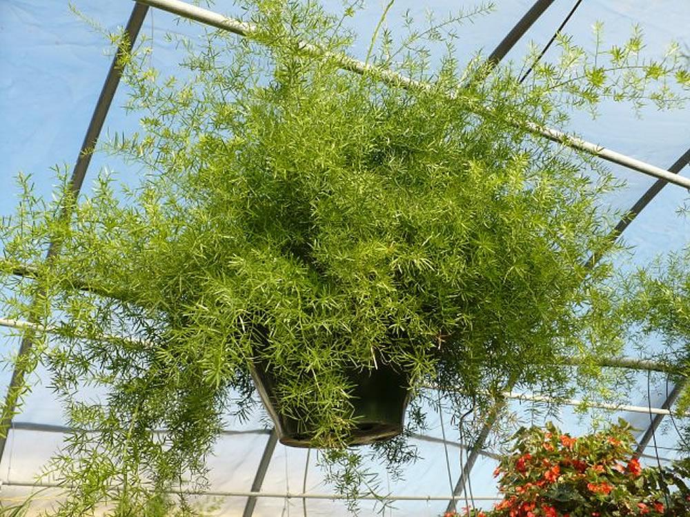 Asparagus-densiflorus-Sprengeri