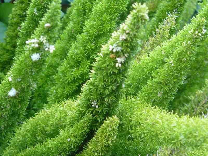 Asparagus densiflorus11