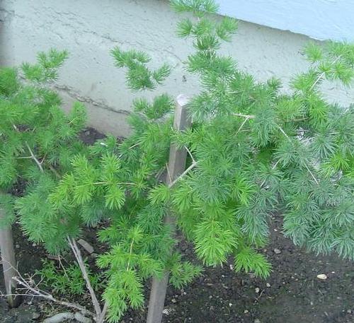 Asparagus macowanii