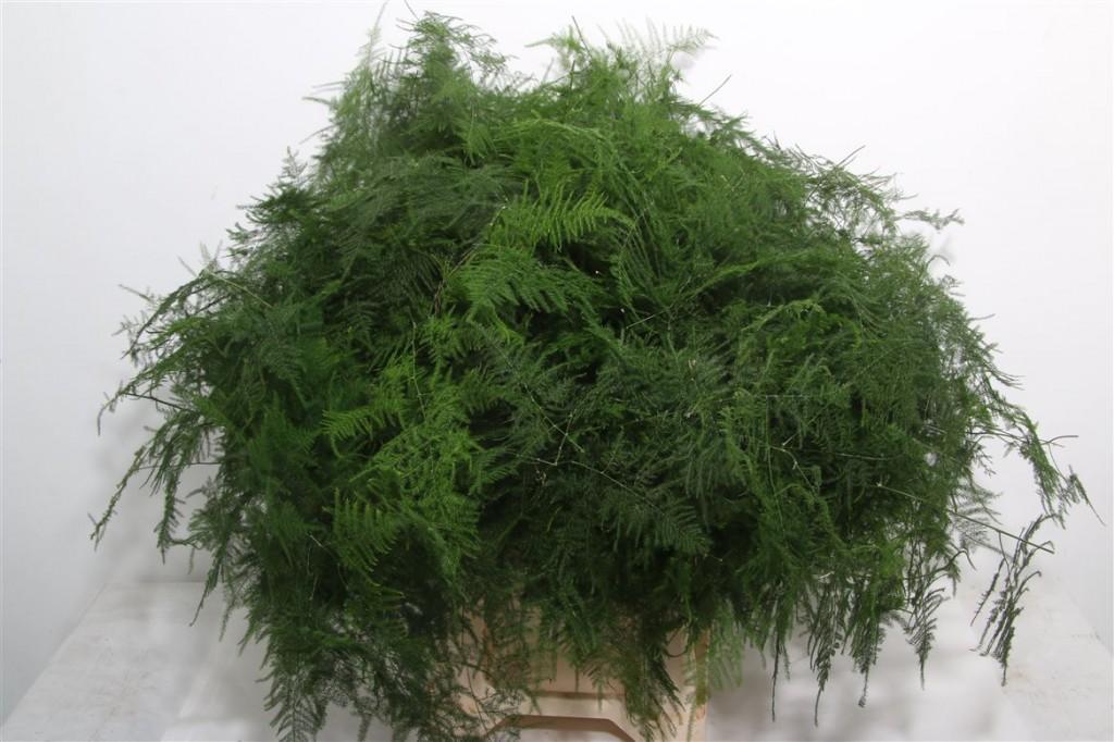 Asparagus setaceus1
