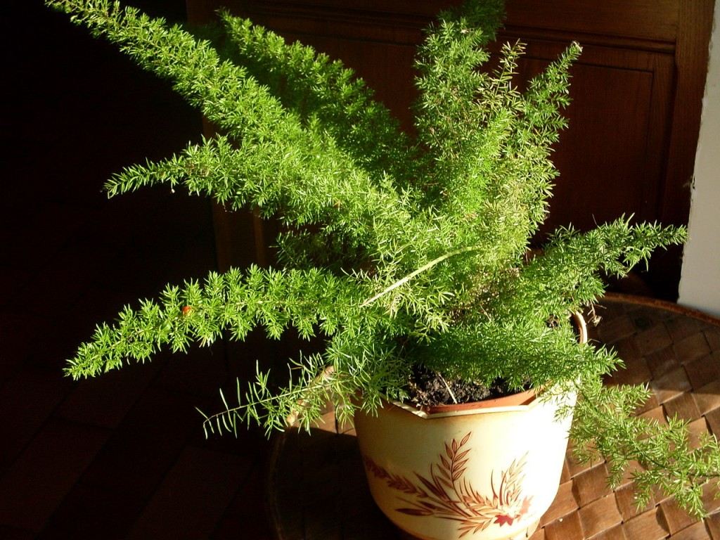 Asparagus_densiflorus