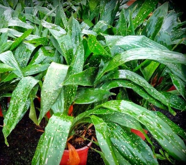Aspidistra elatior maculata