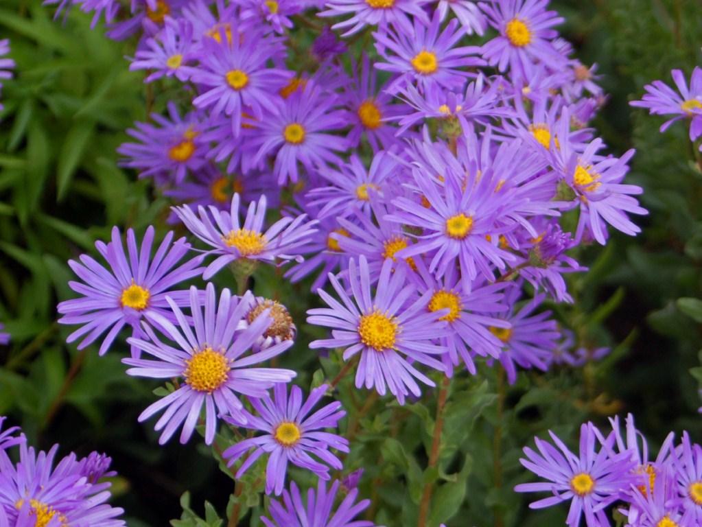 Asteraceae_-_Aster_