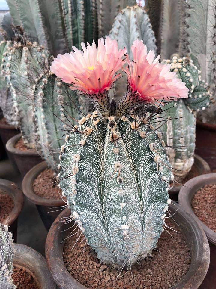 Astrophytum ornatum2