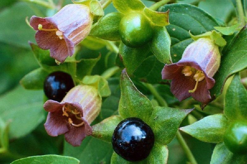 Atropa belladonna (beladona)