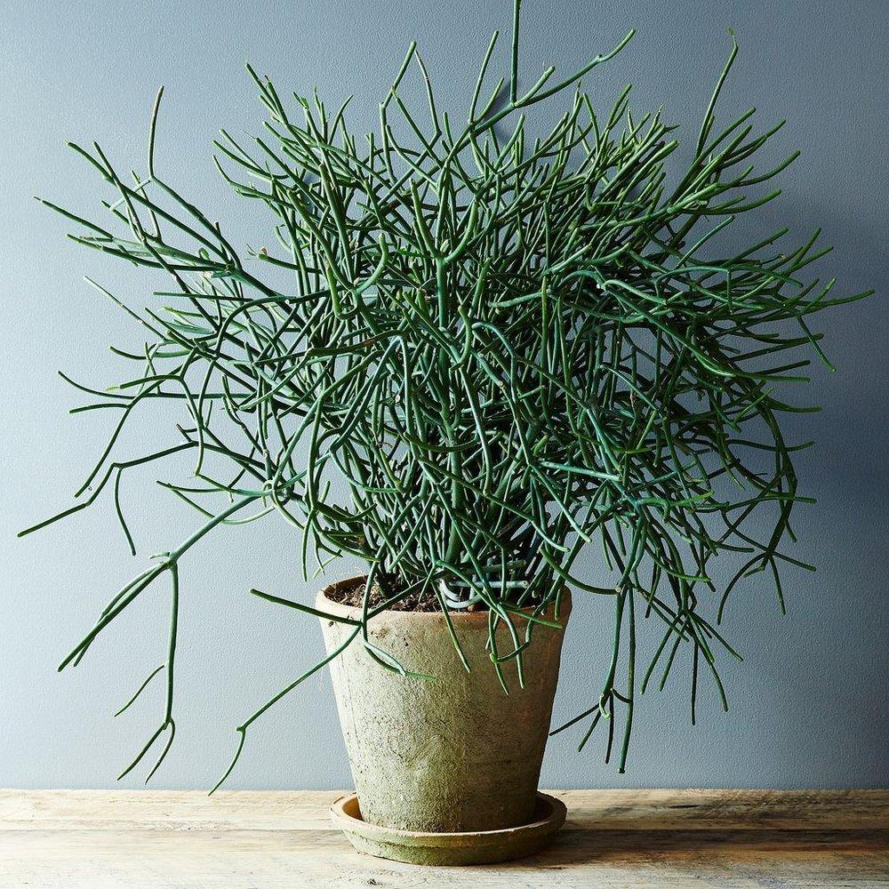 Avelós (Euphorbia tirucalli)