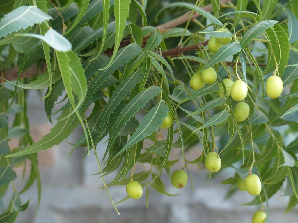 Azadirachta indica-1