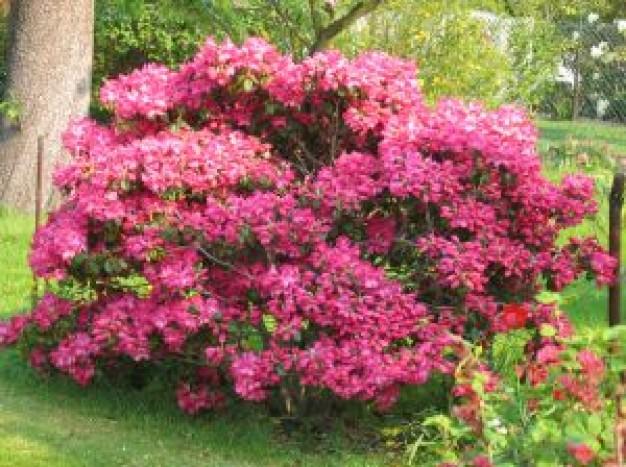 Azaléia (rododendro)
