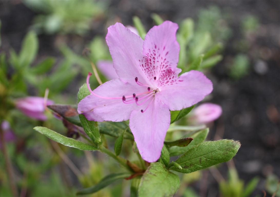 Azalea-rhododendron_yedoense