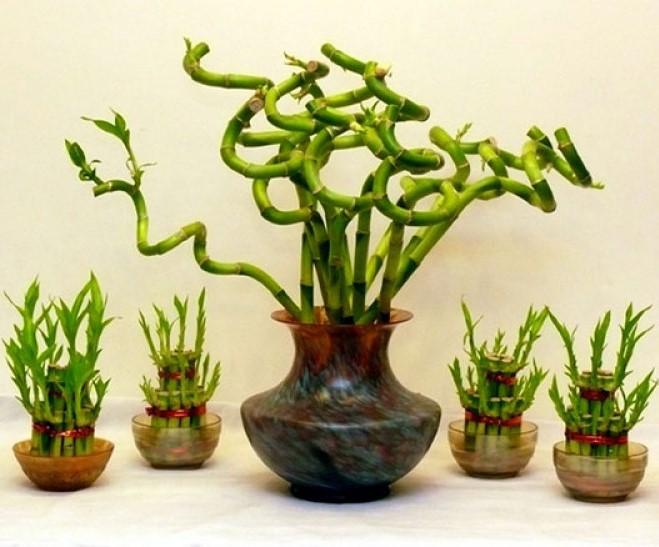 Bambo-da-Sorte (Dracaena sanderiana)