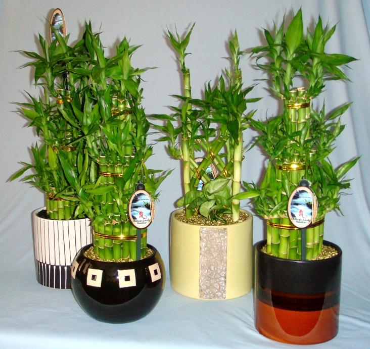 Saiba como cultivar o bambu da sorte dracena sanderiana for Plantas para interiores feng shui