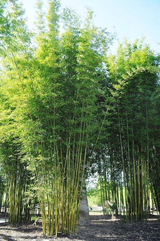 Bambusa textilis gracilis_P