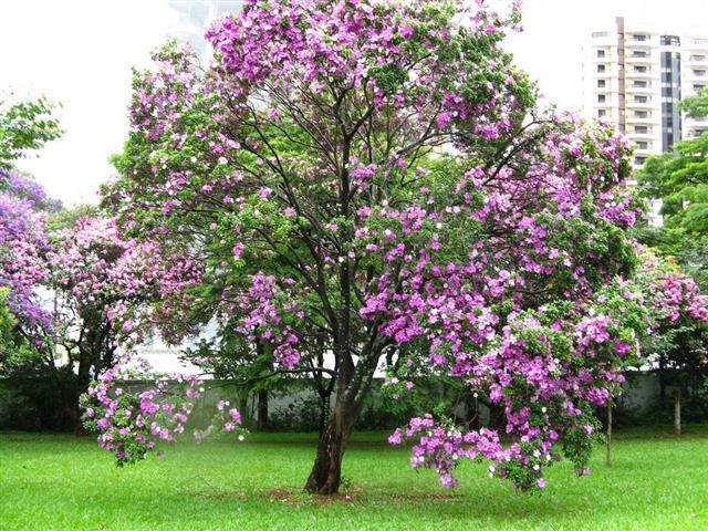 Bauhinia foficata