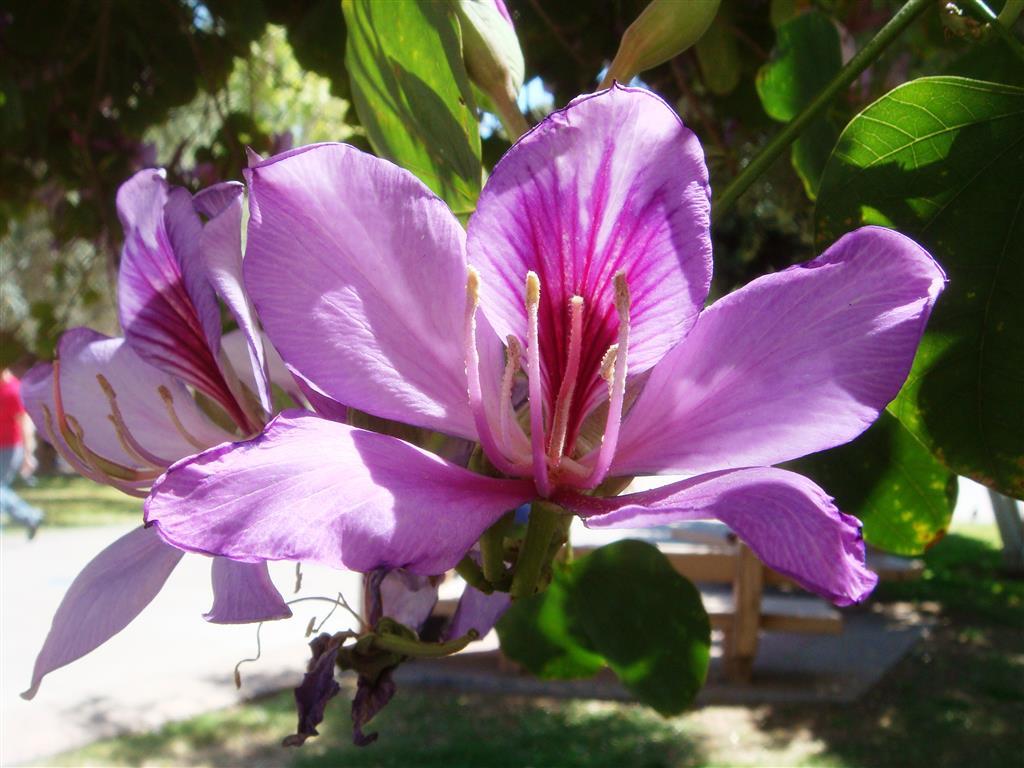 Bauhinia-variegata-20