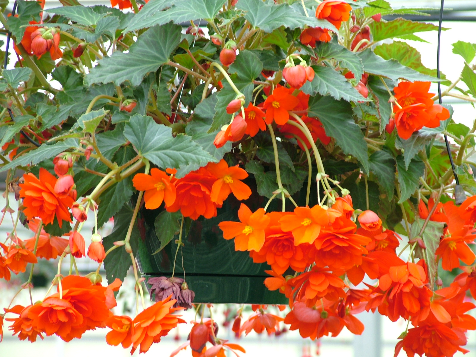 Begonia-Illumination-Orange