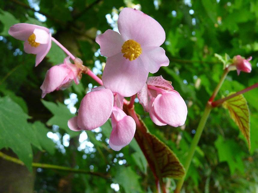 Begonia-g