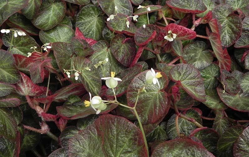 Begonia-sarmentacea
