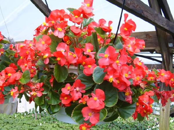 Begonia.wax_bagonia
