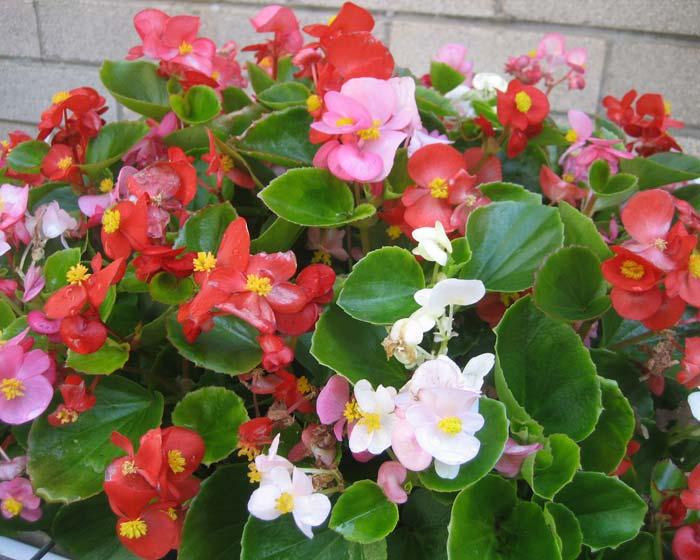 BegoniaSemperflorens700