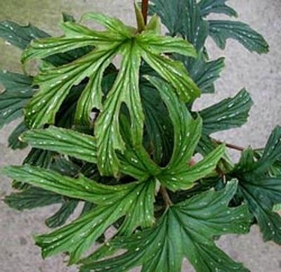Begonia__aconitifolia